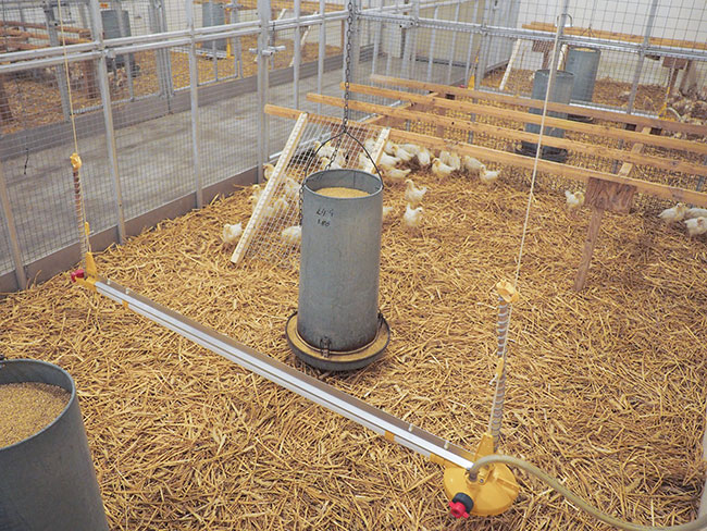 Pullet Research: Shed a little light